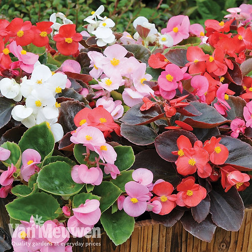 Silver Blades FUNDRAISER Flat of MIXED BEGONIAS
