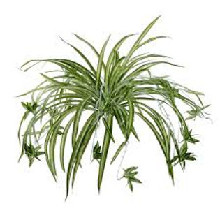 Spider Plant 10in
