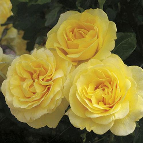HAPPY GO LUCKY ROSE