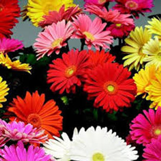 Gerbera Daisy Mixed Colors 5in pot (specify preferred color in notes)