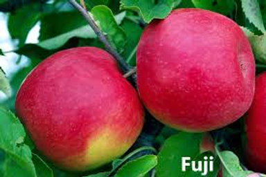 RED FUJI APPLE 5G TREE