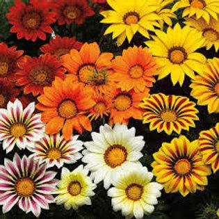 Gazania Big Kiss Mix Flat 32 plants