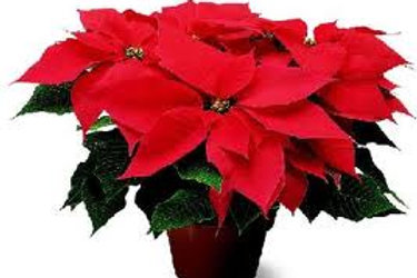 Red Poinsettias - 6.5 inch