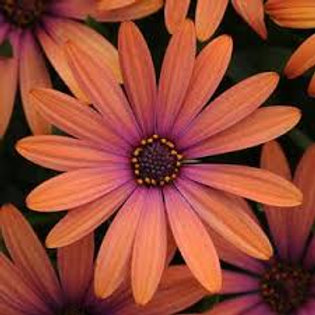 Osteospermum Daisy Bronze 4.5in Bench Pot