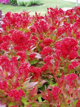 Celosia Prestige Scarlet Flat 48 plants