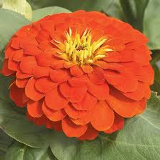 Zinnia Magellan Scarlet Flat 32 plants
