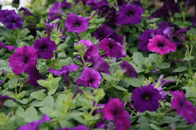 Petunia  Wave Purple 6 pack