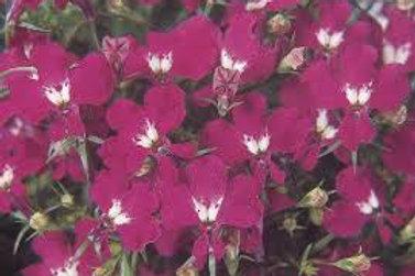 Lobelia Rose Flat 48 plants