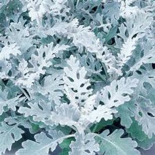 Dusty Miller Silverdust 48 plants