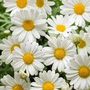 Argyranthemum Butterfly Daisy White 14in pot