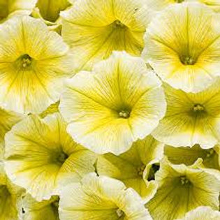 PETUNIA SUPERTUNIA LIMONCELLO 4.5IN BENCH POT