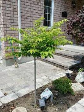 BURNING BUSH 5G TREE STANDARD