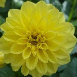 Dahlinova Montana Yellow 6.5in pot