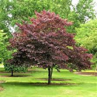 FOREST PANSY REDBUD 5G