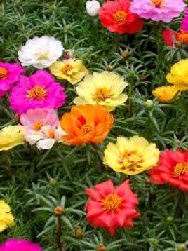 Portulaca Happy Hour Mix Flat 48 plants- moss rose