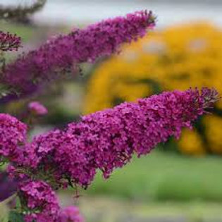 BUDDLEIA QUEEN OF HEARTS 1G BUTTERFLY BUSH