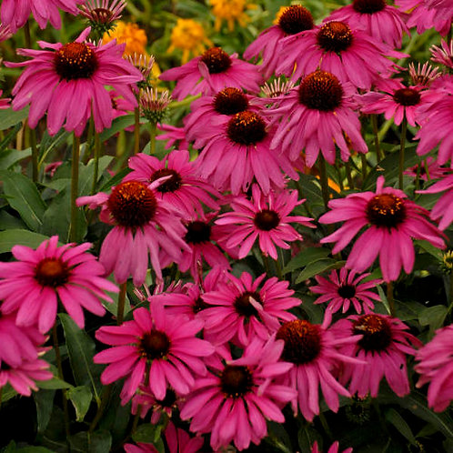 Echinacea Purple Emperor-coneflower