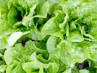 BUTTERCRUNCH LETTUCE 2 PACK