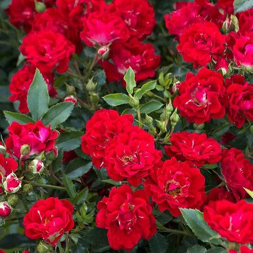 Drift Rose Red-groundcover rose