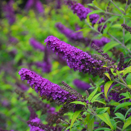 Buddleia Monarch Crown Jewel-butterfly bush