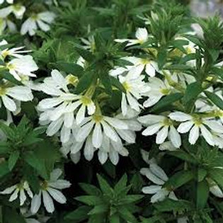 SCAEVOLA BOMBAY WHITE 4.5IN BENCH POT