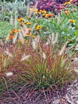 PERENNIAL GRASS PENNISETUM BURGUNDY BUNNY-fountain grass