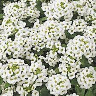 Alyssum Basket White Flat 48 plants