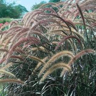 ANNUAL GRASS PURPLE FOUNTAIN