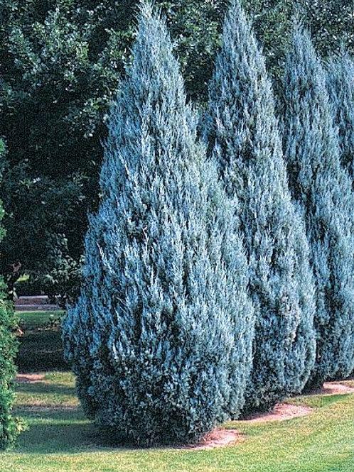 WICHITA BLUE JUNIPER 3GAL SHRUB