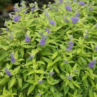 CARYOPTERIS LITTLE MISS SUNSHINE 1G BUSH