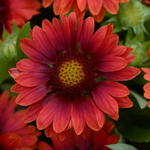 GAILLARDIA MESA RED BLANKET FLOWER