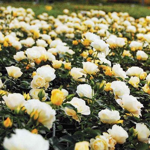 Drift Rose Popcorn-groundcover rose
