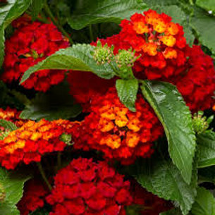 LANTANA HOT BLOODED 4.5IN BENCH POT