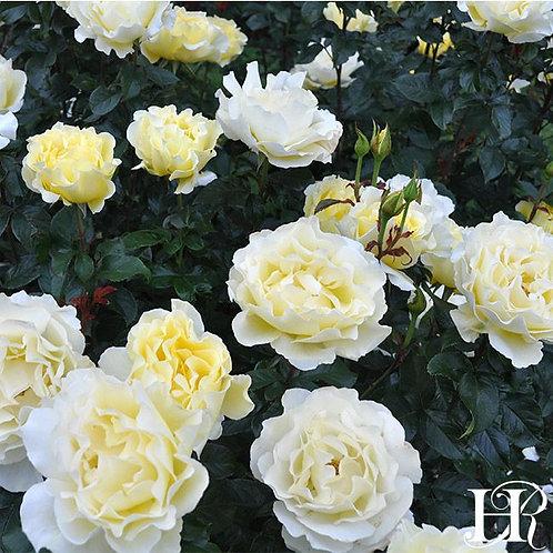 WHITE LICORICE ROSE TREE