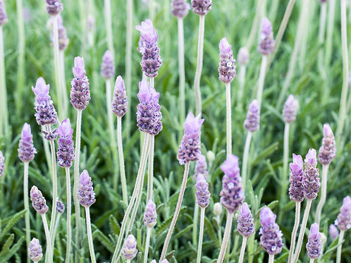 LAVANDULA DENTATA FRENCH