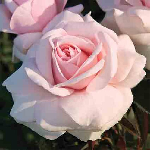 MEREDITH PINK ROSE