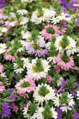 SCAEVOLA SUNDIVA MIXED COLORS