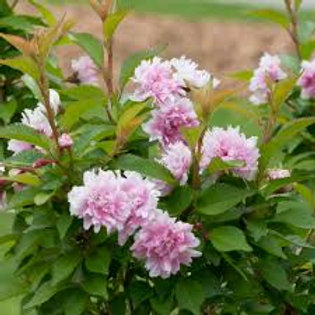ZUZU FLOWERING CHERRY BUSH 1G