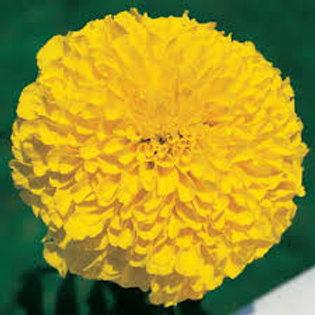 Marigold Inca Gold Flat 32 plants