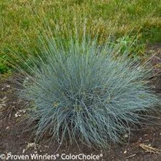 PERENNIAL GRASS FESTUCA BLUE WHISKERS