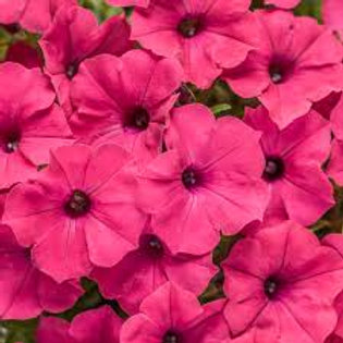 PETUNIA SUPERTUNIA VISTA FUCHSIA