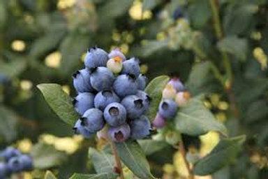 Blueberry Perpetua Bush