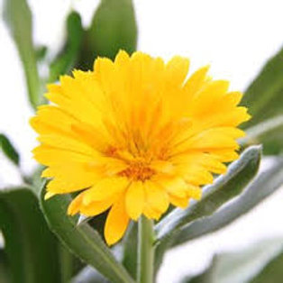 CALENDULA YELLOW  4.5IN BENCH POT
