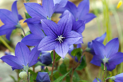 PLATYCODON ASTRA BLUE BALLOON FLOWER