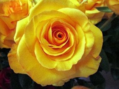 Deja Vu Rose