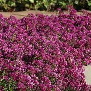 Alyssum Purple Flat 48 plants