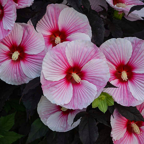 Hibiscus Starry Night- rose mallow