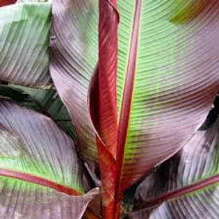Ensete Maurelli Red Banana 10in pot