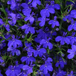 LOBELIA MAGADI DARK BLUE