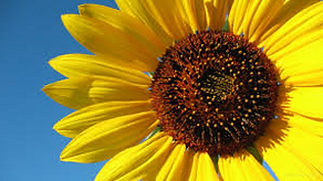 sunflower image.png